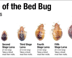 A Bed Bug Bite